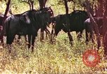Image of a herd of wildebeests Sub Saharan Africa, 1958, second 2 stock footage video 65675058739