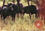 Image of a herd of wildebeests Sub Saharan Africa, 1958, second 3 stock footage video 65675058739