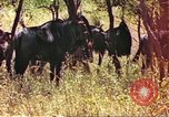Image of a herd of wildebeests Sub Saharan Africa, 1958, second 4 stock footage video 65675058739