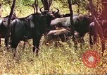 Image of a herd of wildebeests Sub Saharan Africa, 1958, second 5 stock footage video 65675058739