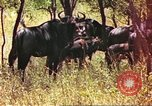 Image of a herd of wildebeests Sub Saharan Africa, 1958, second 6 stock footage video 65675058739
