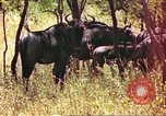Image of a herd of wildebeests Sub Saharan Africa, 1958, second 7 stock footage video 65675058739