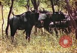 Image of a herd of wildebeests Sub Saharan Africa, 1958, second 8 stock footage video 65675058739