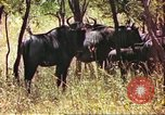 Image of a herd of wildebeests Sub Saharan Africa, 1958, second 9 stock footage video 65675058739
