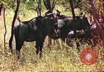 Image of a herd of wildebeests Sub Saharan Africa, 1958, second 10 stock footage video 65675058739