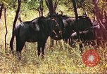 Image of a herd of wildebeests Sub Saharan Africa, 1958, second 12 stock footage video 65675058739