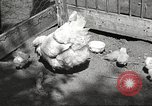 Image of chicken United States USA, 1920, second 3 stock footage video 65675060944