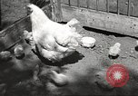 Image of chicken United States USA, 1920, second 4 stock footage video 65675060944