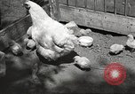 Image of chicken United States USA, 1920, second 5 stock footage video 65675060944
