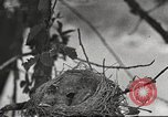 Image of birds nesting United States USA, 1920, second 1 stock footage video 65675060947
