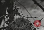 Image of birds nesting United States USA, 1920, second 2 stock footage video 65675060947
