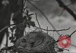 Image of birds nesting United States USA, 1920, second 3 stock footage video 65675060947