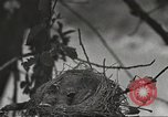Image of birds nesting United States USA, 1920, second 4 stock footage video 65675060947