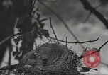 Image of birds nesting United States USA, 1920, second 5 stock footage video 65675060947