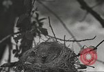 Image of birds nesting United States USA, 1920, second 6 stock footage video 65675060947