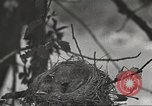 Image of birds nesting United States USA, 1920, second 7 stock footage video 65675060947