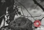 Image of birds nesting United States USA, 1920, second 9 stock footage video 65675060947