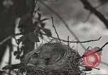 Image of birds nesting United States USA, 1920, second 10 stock footage video 65675060947