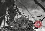 Image of birds nesting United States USA, 1920, second 11 stock footage video 65675060947