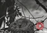Image of birds nesting United States USA, 1920, second 12 stock footage video 65675060947