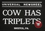 Image of young cows Bristol Pennsylvania USA, 1934, second 4 stock footage video 65675061024