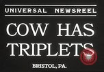 Image of young cows Bristol Pennsylvania USA, 1934, second 5 stock footage video 65675061024