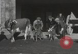 Image of young cows Bristol Pennsylvania USA, 1934, second 9 stock footage video 65675061024