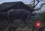 Image of water buffaloes Vietnam, 1966, second 12 stock footage video 65675062003