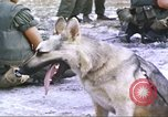 Image of scout dogs Vietnam, 1966, second 2 stock footage video 65675062005
