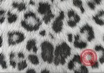 Image of massive leopard fur skin rug from Korea Pueblo Colorado USA, 1951, second 7 stock footage video 65675062527
