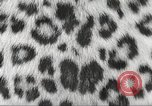 Image of massive leopard fur skin rug from Korea Pueblo Colorado USA, 1951, second 8 stock footage video 65675062527