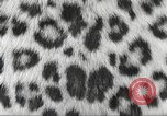 Image of massive leopard fur skin rug from Korea Pueblo Colorado USA, 1951, second 9 stock footage video 65675062527
