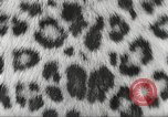 Image of massive leopard fur skin rug from Korea Pueblo Colorado USA, 1951, second 10 stock footage video 65675062527