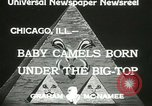 Image of baby camels Chicago Illinois USA, 1933, second 3 stock footage video 65675063205