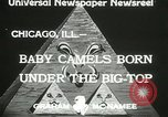 Image of baby camels Chicago Illinois USA, 1933, second 7 stock footage video 65675063205