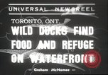 Image of wild ducks Toronto Ontario Canada, 1939, second 1 stock footage video 65675063633