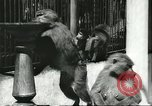 Image of monkey nursery Russia, 1956, second 9 stock footage video 65675064617
