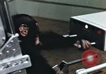 Image of training of chimpanzee New Mexico United States USA, 1960, second 12 stock footage video 65675065062