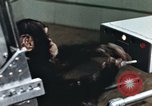 Image of training of chimpanzee New Mexico United States USA, 1960, second 6 stock footage video 65675065063