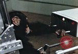 Image of training of chimpanzee New Mexico United States USA, 1960, second 11 stock footage video 65675065063