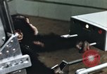 Image of training of chimpanzee New Mexico United States USA, 1960, second 12 stock footage video 65675065063