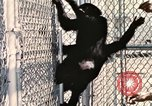 Image of training of chimpanzee New Mexico United States USA, 1960, second 3 stock footage video 65675065071