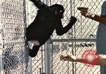 Image of training of chimpanzee New Mexico United States USA, 1960, second 7 stock footage video 65675065071