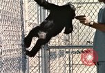 Image of training of chimpanzee New Mexico United States USA, 1960, second 9 stock footage video 65675065071