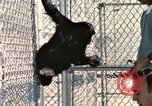 Image of training of chimpanzee New Mexico United States USA, 1960, second 10 stock footage video 65675065071