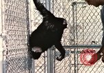 Image of training of chimpanzee New Mexico United States USA, 1960, second 11 stock footage video 65675065071