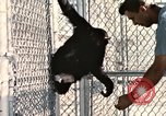 Image of training of chimpanzee New Mexico United States USA, 1960, second 12 stock footage video 65675065071