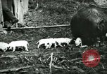 Image of Black sow United States USA, 1898, second 3 stock footage video 65675065303