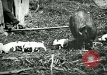 Image of Black sow United States USA, 1898, second 6 stock footage video 65675065303
