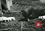Image of Black sow United States USA, 1898, second 8 stock footage video 65675065303